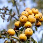 Les poires plant de blanc si typiques du Domfrontais qui servent à l'élaboration du poiré AOP