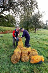 Ramassage des poires dans le Domfrontais